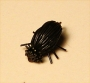 Deer Hair Black Beetle